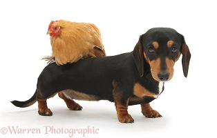 Tricolour Dachshund and chicken