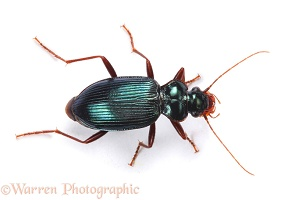 Green ground beetle