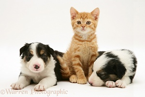 Border Collie pups and ginger kitten