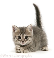 Grey tabby British Shorthair kitten