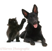 Black Alsatian and black kitten