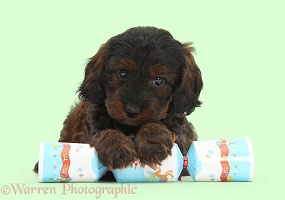 Cockapoo pup with paws over a Christmas cracker