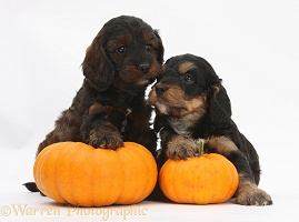 Cockapoo pups with pumpkins