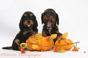 Cockapoo pups with pumpkins and cotoneaster berries