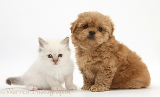 Peekapoo pup and white kitten