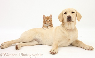 Yellow Labrador pup and ginger kitten