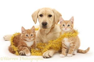 Yellow Labrador pup with ginger kittens and tinsel
