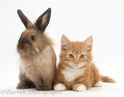 Ginger kitten and young Lionhead-cross rabbit