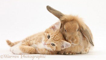 Ginger kitten and young Sandy Lop rabbit