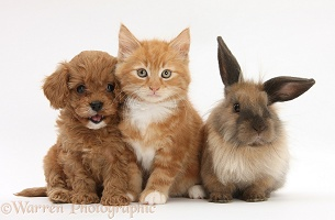 Ginger kitten with Cavapoo pup and Lionhead rabbit