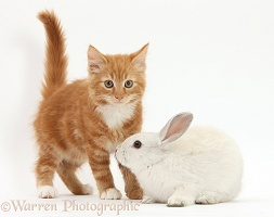 Ginger kitten and young white rabbit