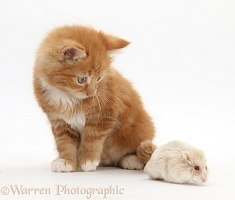 Ginger kitten and Russian Hamster