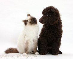 Chocolate Standard Poodle pup with Birman cat
