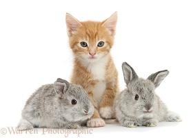 Ginger kitten, 7 weeks old, and baby silver Lop rabbits