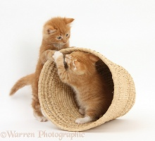 Ginger kittens playing in a raffia basket