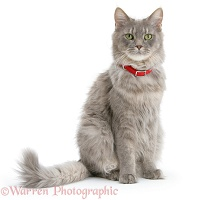 Maine Coon cat wearing a red collar