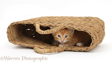 Shy ginger kitten peeping out of raffia handbag