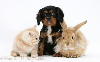 King Charles Spaniel pup, rabbit and ginger kitten
