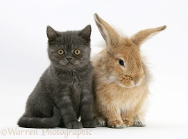 Grey kitten with sandy Lionhead-cross rabbit