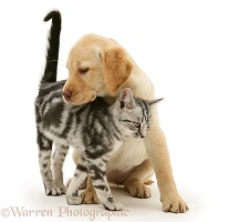 Yellow Labrador Retriever pup with silver tabby kitten