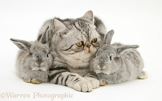 Silver Exotic cat and two silver baby rabbits