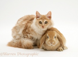 Red silver Turkish Angora cat and sandy Lop Rabbit