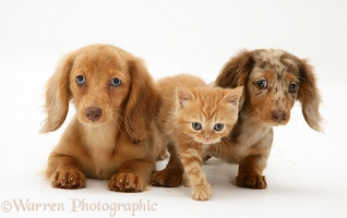 Dachshund pups and ginger kitten