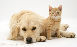 Golden Retriever and ginger kitten