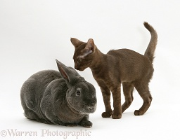 Brown Burmese-cross kitten with blue Rex rabbit