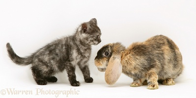 Tortoiseshell rabbit and kitten