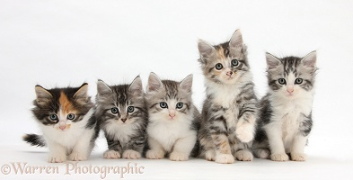 Five Maine Coon-cross kittens, 7 weeks old