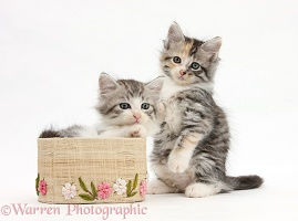 Maine Coon-cross kittens, 7 weeks old, with a basket