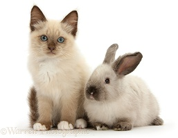 Ragdoll-cross kitten and young colourpoint rabbit