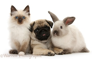 Pug pup with Colourpoint rabbit and kitten