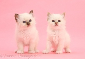 Colourpoint kittens standing on pink background