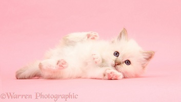 Colourpoint kitten lying on pink background