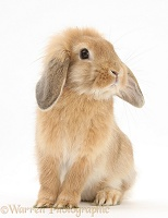 Young Sandy Lop rabbit