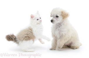Miniature Apricot Poodle pup and playful kitten