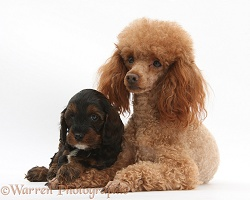 Red toy Poodle dog Cockapoo pup