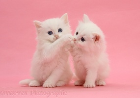 Two white kittens on pink background