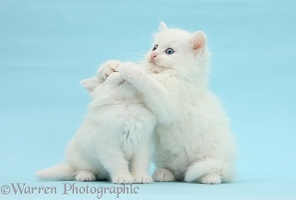 Two white kittens on blue background