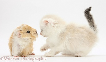 Ragdoll-cross kitten and baby Guinea pig