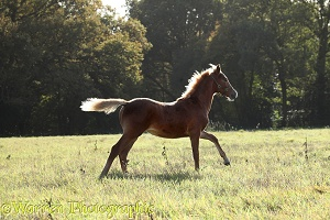 Warmblood foal trotting