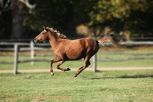 Warmblood mare galloping