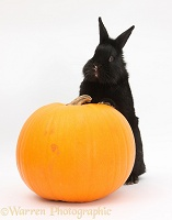 Black rabbit and pumpkin