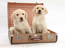 Yellow Labrador pups going on holiday