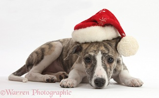 Brindle-and-white Whippet pup wearing a Santa hat