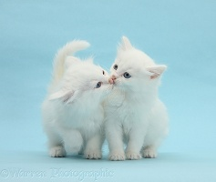 Two white kittens kissing on blue background