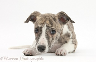 Brindle-and-white Whippet pup