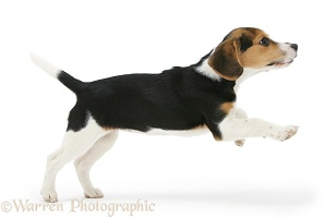 Beagle pup leaping